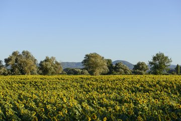 """sunflowers fields in the """"holy valley"""" #01, Rieti"""