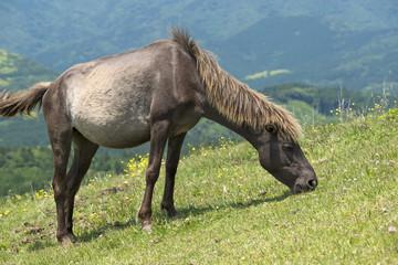 草を食む都井岬の馬