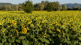 "sunflowers fields in the ""holy valley"" #05, Rieti"