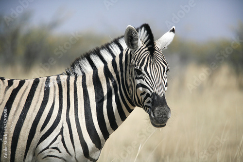 Canvas Zebra Zebra in Etosha in Namibia