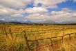 South African Vineyard (Stellenbosch, Franshoek)