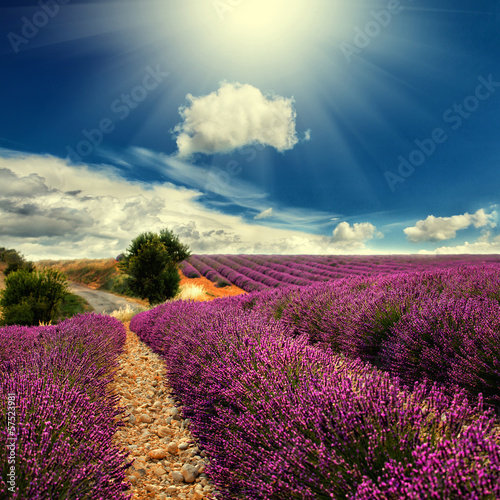 lavender field - 57523981