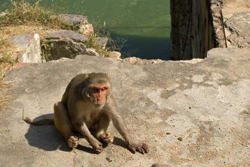 Rhesus macaque, Deeg, Rajasthan, India