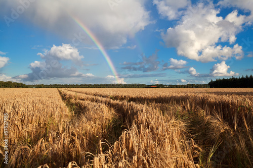 rainbow after summer rain over wheat field