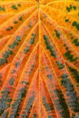 Herbstlicher Taschentuchbaum