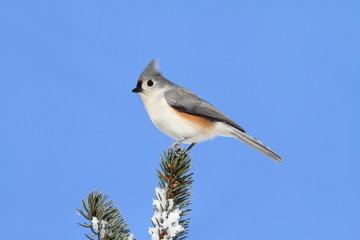 Bird On A Spruce Tree With Snow