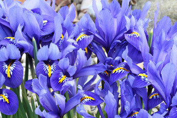 Dutch miniature blue iris (Iris reticulata)