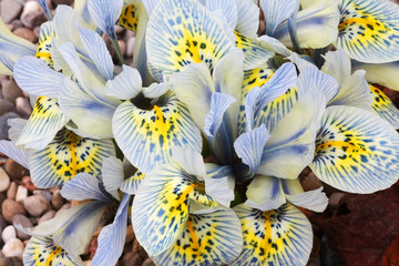 Dutch miniature light blue iris (Iris reticulata)