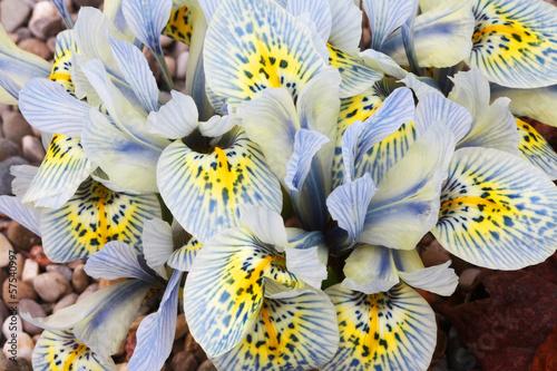 Staande foto Iris Dutch miniature light blue iris (Iris reticulata)
