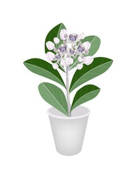 Fresh Calotropis Gigantea in A Flower Pot