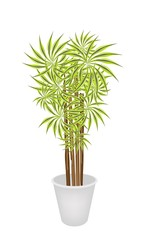 Beautiful Dracaena Plant in A Flower Pot