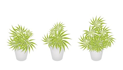 Beautiful Yucca Trees in Three Flower Pot