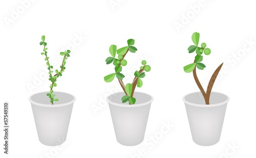 Three Lovely Bonsai Trees in Flower Pots