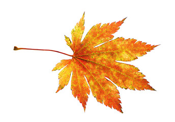 Orange maple leaf isolated on white background.