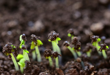 Macro shot of small green shoots sprouting from the ground