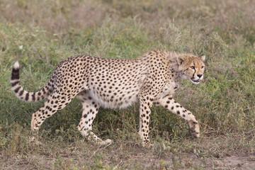 Cheetah cub (Acinonyx jubatus) in Tanzania