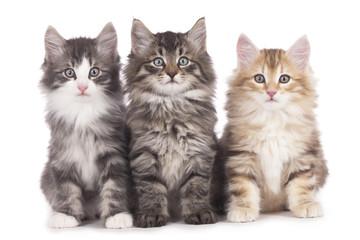 Drei norwegische Waldkatzen nebeneinander - three kitten