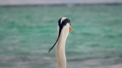 Grey heron at the sea. Maldives.
