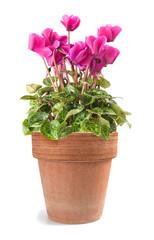 cyclamen in vase