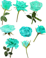 set of light blue rose flowers isolated on white