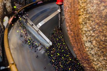 macina di granito che schiaccia le olive appena raccolte