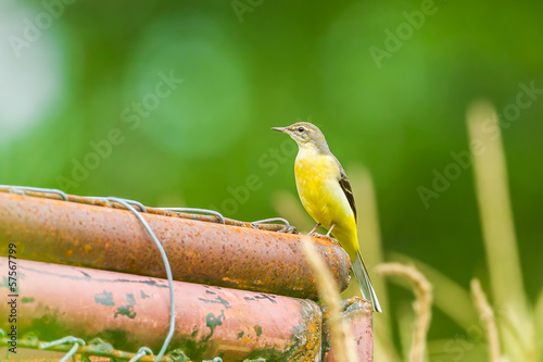 Yellow Wagtail(Motacilla flava) in nature
