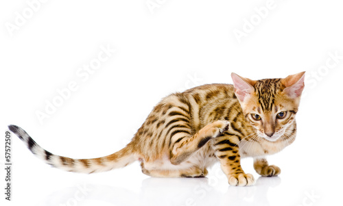 bengal cat  scratching isolated on white background
