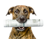 dog carrying newspaper. isolated on white background