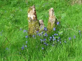Ecosse - Souche d'arbre fleurie de clochettes bleues