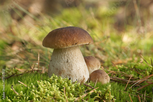 Mushrooms Bolete, fungus in the wild (Boletus pinophilus)