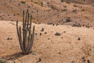 Cactus in the desert in Atacama, Chile