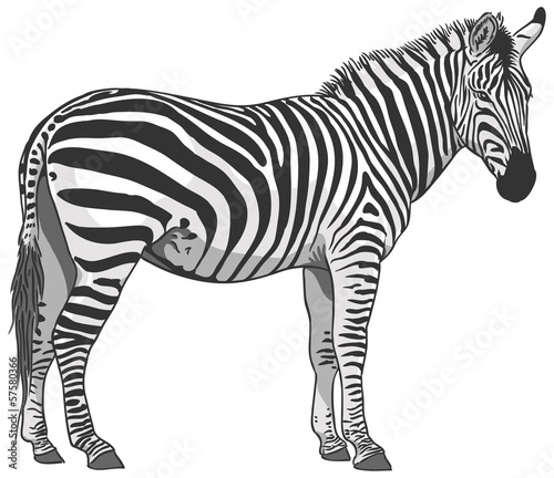 Isolated Zebra Illustration