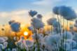 Leinwanddruck Bild - Cotton grass on a background of the sunset sky