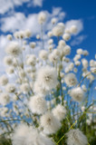 Flowering cotton grass on a background of blue sky