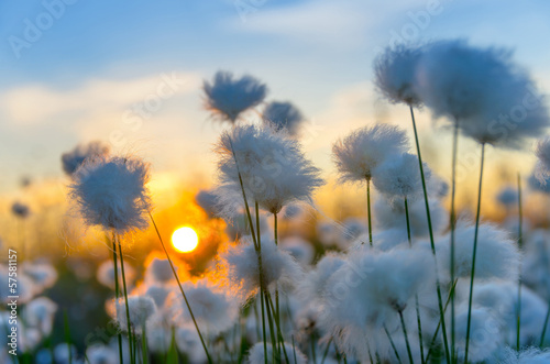 Fotobehang Water planten Cotton grass on a background of the sunset sky