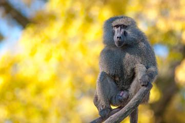 Portrait fo african baboon monkey