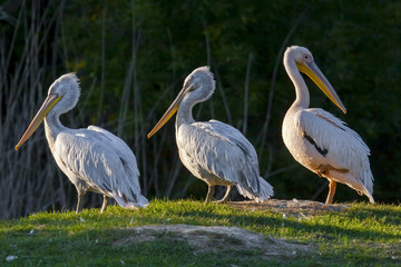 Great white and Dalmatian pelicans (Pelecanis crispus)