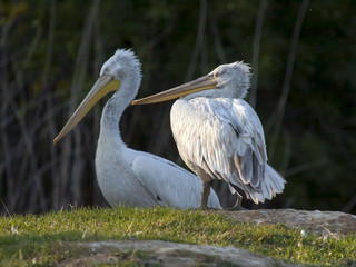 Dalmatian pelicans (Pelecanis crispus)