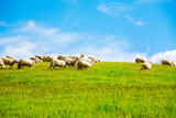 Sheep over clean sky background