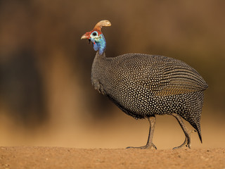 Guineafowl walking on gravel