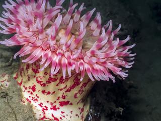 Painted Anemone (Urticina grebelnyi)