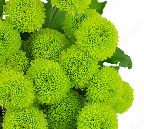 Fridge magnet Beautiful green chrysanthemum isolated on white
