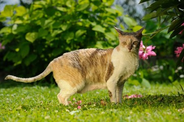 Cornish Rex Cat on Sunny Lawn in Summer