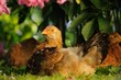 Young Chicken Resting Under Bush