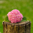 Pink Hydrangea Flowers on Tree Stump
