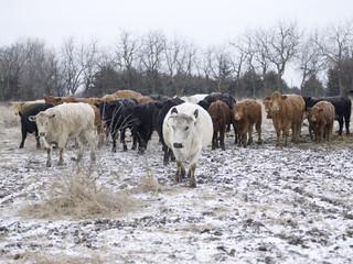 Herd of Cattle in Winter