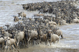 Wildebeest coming out the river after crossing