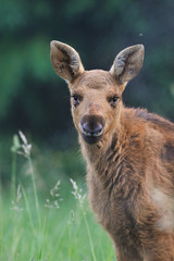 Moose calf portrait