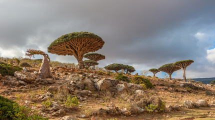 Dragon trees at Dixam plateau, Socotra Island, Yemen