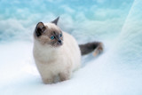Cute siamese cat walking in the snow